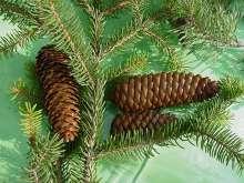 Rødgran - Picea abies