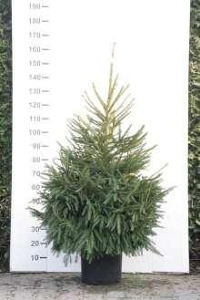 Rødgran i potte - Picea abies - christmas